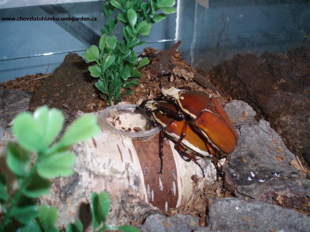 Mecynorrhina hybrid 2