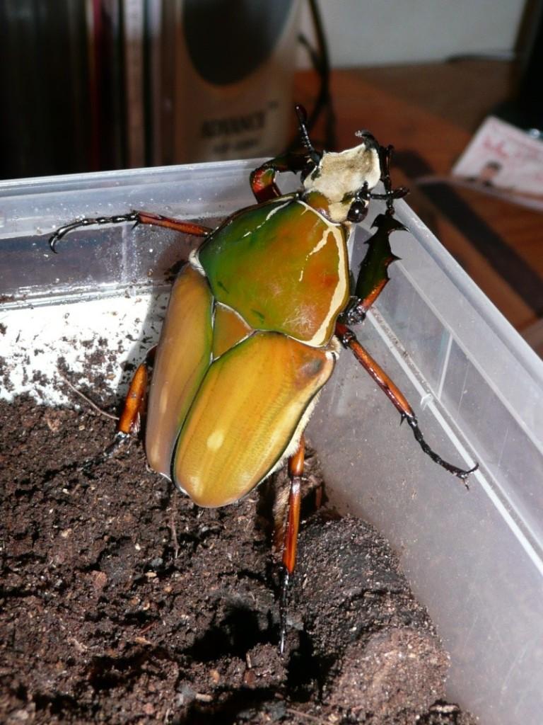 Mecynorrhina hybrid